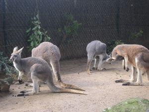 カンガルー(kangaroo)オーストラリアでは省略して、ルー(roo)と呼ぶ。