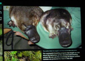 実物は見れなかったカモノハシ(platypus)