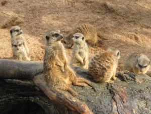 オーストラリアの動物ではないが、ミーアキャット(meerkat)